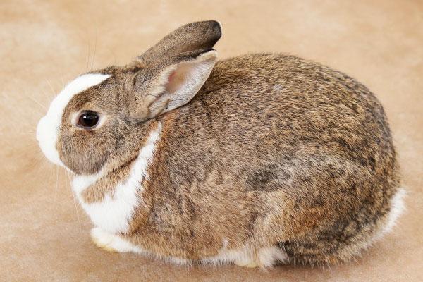 高齢ウサギ